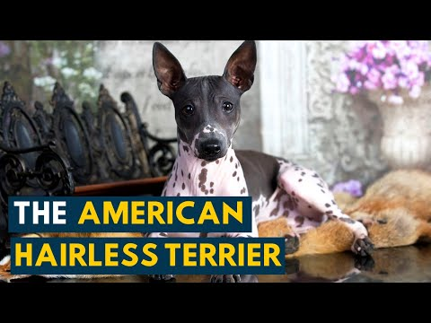 American Hairless Terrier: Ten Interesting Facts About This Unique Dog Breed!