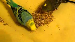 Sky and my new budgie, Babe, eating on my bed!!!