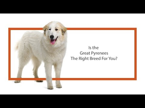 Learn all about the Great Pyrenees and why they could be your perfect pet!
