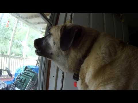 Anatolian dog barking at a cat.