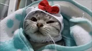 【驚く猫】うっかり寝入ってしまった結末はいかに…我に返ってなんじゃこりゃぁ?-Hello Kitty! Cat asking me what this is?