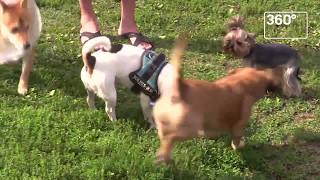 Мосгордума предложила штрафы за выгул собак без намордников на даче