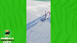 Dog Running with a Skateboard | Animals Doing Things