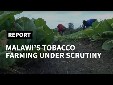 Malawi tobacco pressured as US butts in over labour abuses | AFP