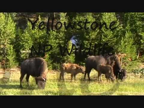Yellowstone NP Wildlife JenniesFilmpjes