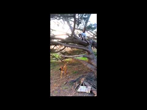 Our amazing tree climbing Dalmatian Dog
