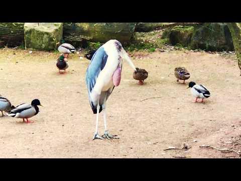 7. Februar 2018. Erlebnis-Zoo Hannover.  Marabu und Enten.