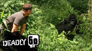Gorilla shows Steve who's boss! | Deadly 60 | BBC Earth Kids
