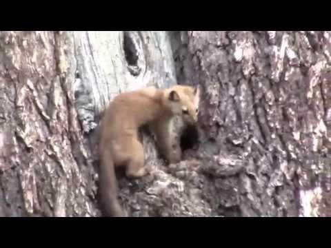 pine martin attacks squirrel in a tree
