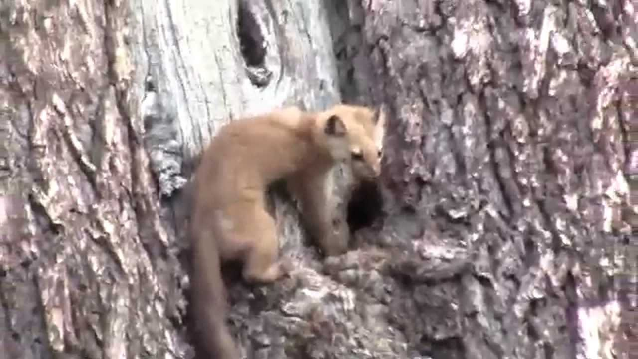 pine martin attacks squirrel in a tree youtube