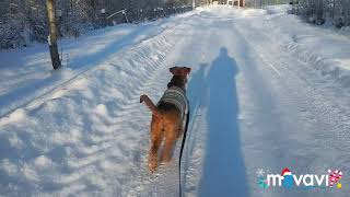 Волог с прогулки с собакой. Эрдельтерьер