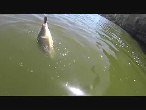lure fishing for Yellowbelly