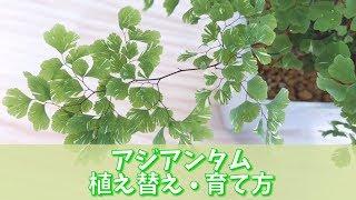 アジアンタムの植え替え・育て方   Adiantum  観葉植物