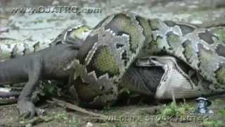 Dev Piton yılanı Timsahı yutuyor.