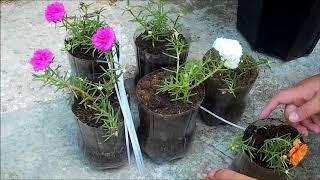 Rose Moss Plant in Plastic Bottles on Wooden Holder (DIY for Portulaca Grandiflora)