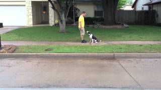 Maddie - Dog Training Broken Arrow