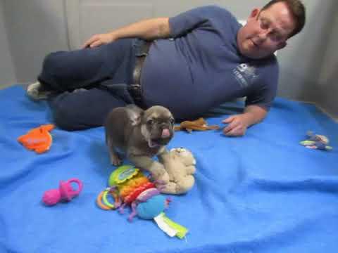 Oprah #1 (Peanut) ` French Bulldog Puppies ~ Oregon French Bulldog Breeders