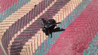 Ксилокопа звичайна, або, Бджола тесляр звичайна, Xylocopa valga, пчела плотник, Пчела плотник, синий(Пасіка http://www.paseka.in.ua/ Черенки Плодових http://www.cherenki.kiev.ua/ Ксилокопа звичайна, або, Бджола-тесляр звичайна,..., 2016-01-07T18:25:25.000Z)