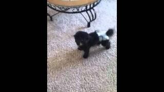 My puppies dancing!! Toy poodles are soo smart n so cute!!:) please...