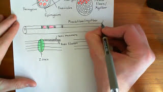 Skeletal Muscle Contraction Part 1