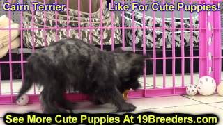 Cairn Terrier, Puppies, For, Sale, In, Indianapolis, Indiana, In, Valparaiso, Goshen, Westfield, Mer