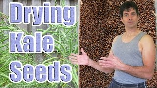 Saving Kale Seeds How to Dry Them Out (Kale Plants Going to Seed)