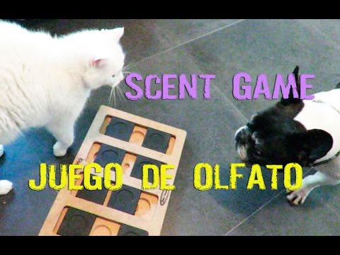 French bulldog scent game