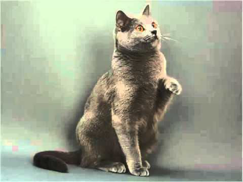 Chartreux - Cat Pictures
