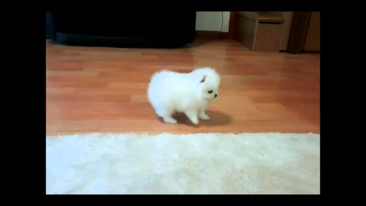The Teacup Pomeranian: Does It Exist And, If So, It Is A Good Pet?