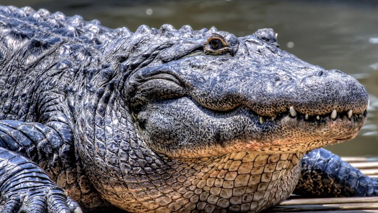 big crocodile free jigsaw