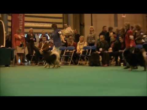 Crufts 2013 Finnish Lapphund Dog Challenge