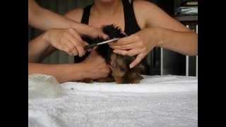 Стрижка ушей йоркширского терьера - как подстричь уши йорку