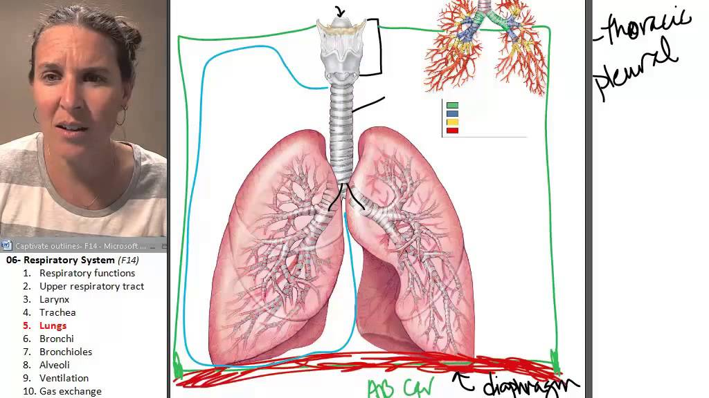 The Lungs Respiratory System Human Anatomy Course Youtube