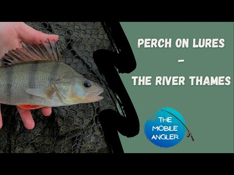 The River Thames - Perch On Lures