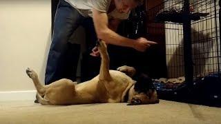 stubborn-bull-mastiff-puppy-refuses-to-go-to-his-bed