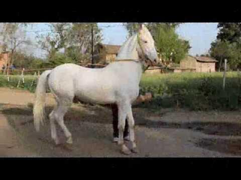 Nukra Horse । Raj Hans