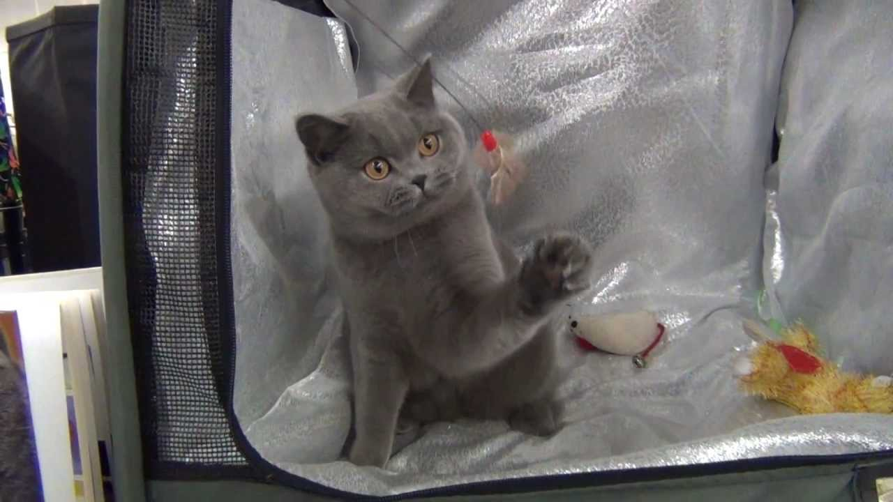 British Shorthair female Kerry Blue at the cat show