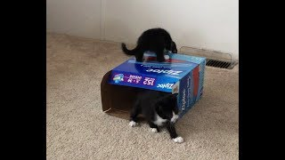 Foster Baby Kitties Playing Around with Empty Box