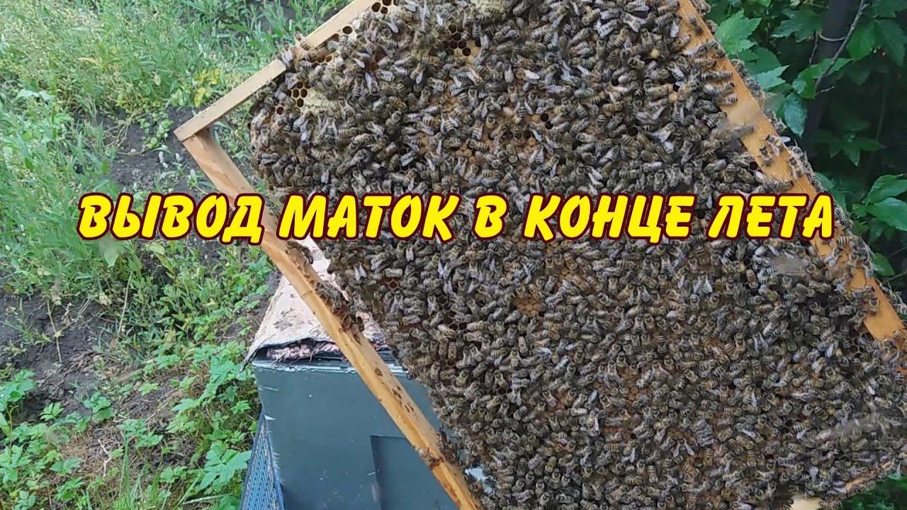 пчеловодство, вывод маток в конце лета, заселяю нуклеус