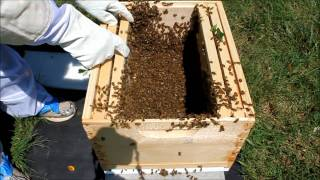 Honeybee swarm and transfer to hive (Part 1 of 2)