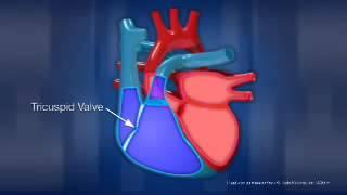 Human Heart Anatomy   By Jena jacksparrow