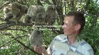 Ушастая сова и интересные факты о ней - Птицы России -  Фильм 14