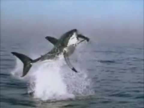 Squalo bianco attacca youtube for Disegno squalo bianco