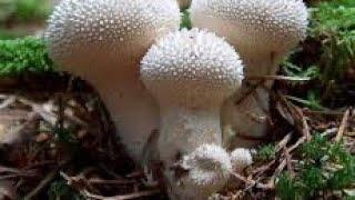 видео Lycoperdon perlatum, Дождевик шиповатый