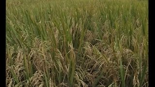 Organic rice cultivation is profitable - says West Godavari farmer