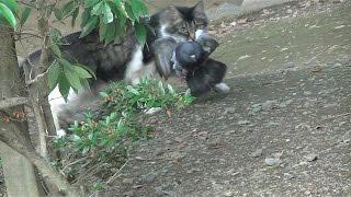 【Reading attention】猫が鳩を仕留めた瞬間!!【閲覧注意】 Cat Hunti...