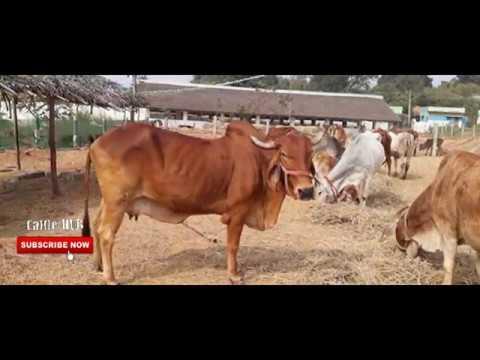 Cow for Sale|Gir cow sale hosur tamilnadu 9952244556,7702397024