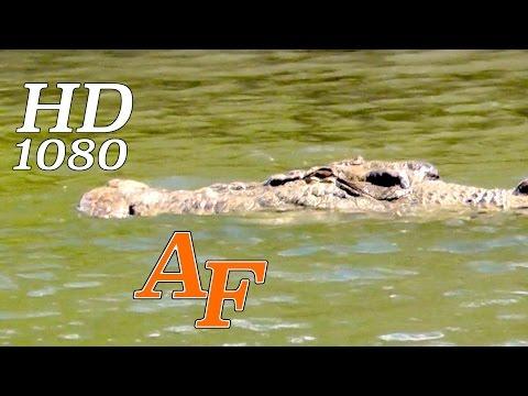 Crocodile Stalks Fishermen Croc Attack Imminent Andysfishing Hinchinbrook (EXCLUSIVE VIDEO) EP.180