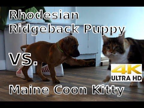 Rhodesian Ridgeback Puppies hunting Maine Coon Kittens
