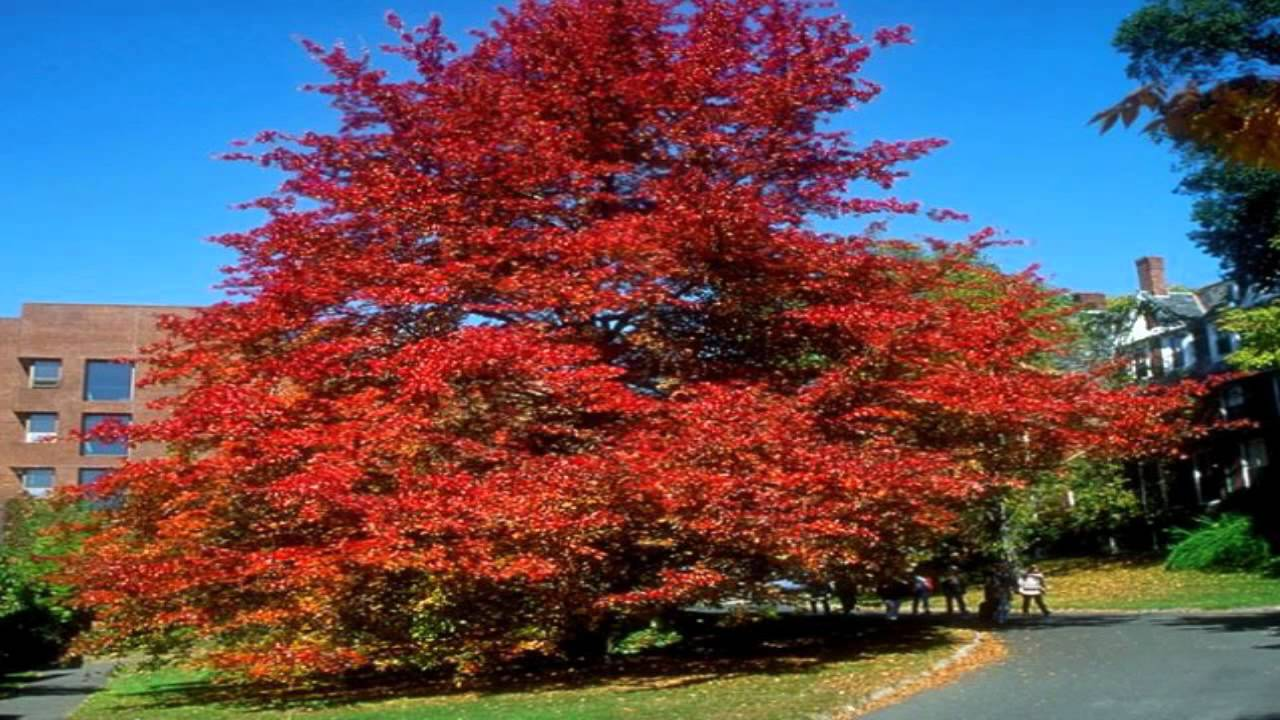 Black tupelo gum tree pictures, susquehanna township midget football association